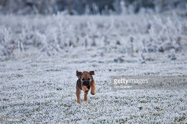 Border terrier puppy scampering in winter landscape The Cotswolds UK