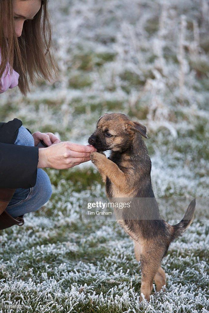 Border Terrier Puppy : Photo d'actualité