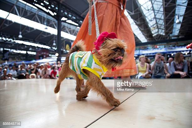 Border Terrier strutting the catwalk with his deer stalker hat and Brazil t-shirt. Paw Pageant dog show at Spitalfields Market, London. Local people...