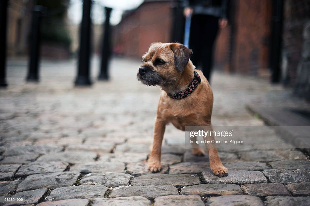 Border Terrier walking about town on a lead : Stock Photo