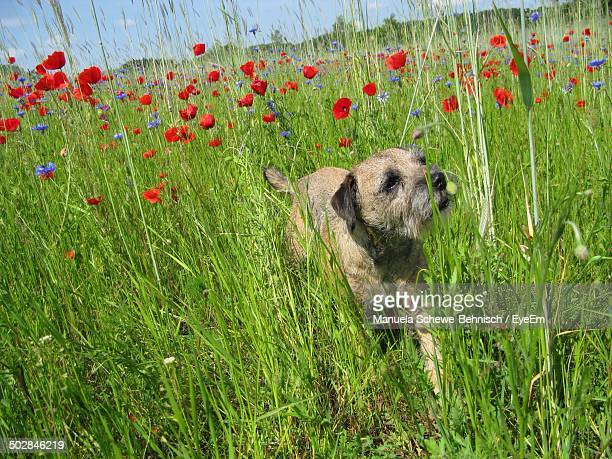 border terrier walking through poppy field - border terrier stock pictures, royalty-free photos & images