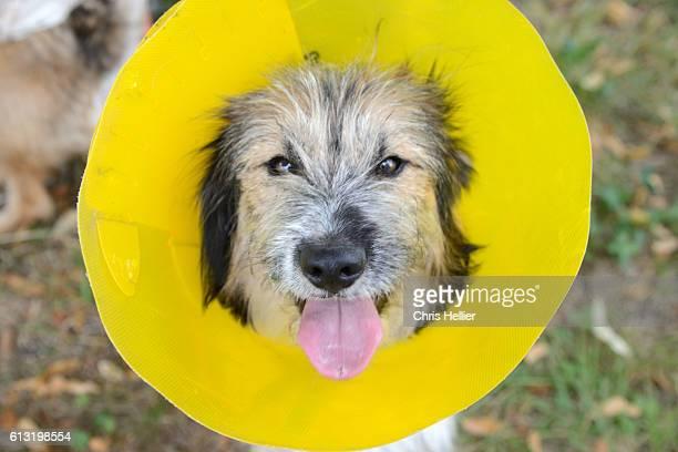 border terrier wearing a medical elizabethan collar - elizabethan collar fotografías e imágenes de stock