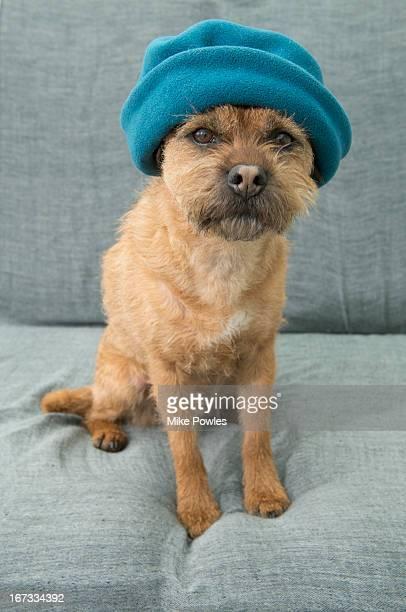 border terrier, wearing hat, norfolk uk - norfolk terrier photos et images de collection