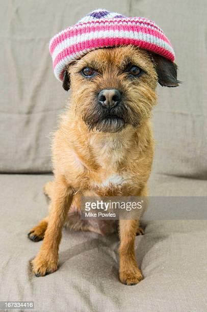 border terrier wearing hat norfolk u.k. - norfolk terrier photos et images de collection
