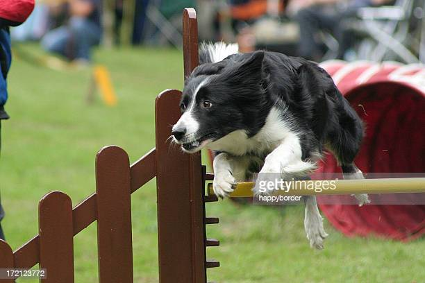 Bordercollie in competition
