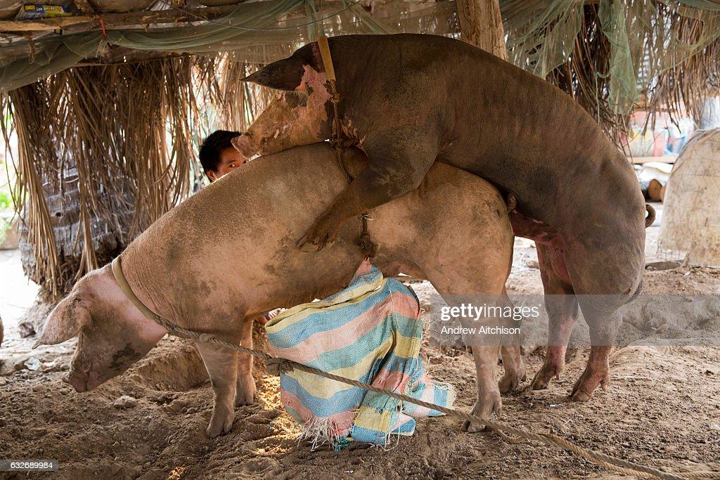 Bore And Sow Mating Cambodia : Fotografia de notícias