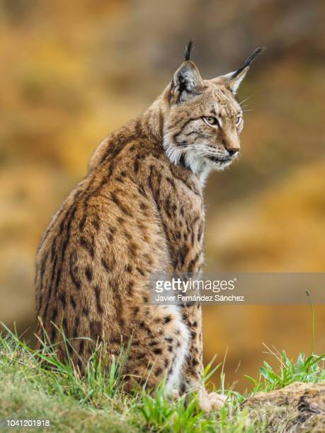 a boreal lynx, sitting on the edge of a rock, watches over the surroundings, framed on a warm background at sunset. lynx lynx. - lynx photos et images de collection