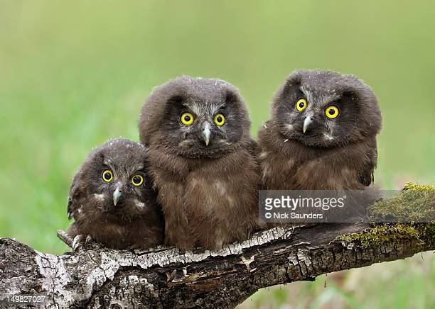 Boreal owl chicks