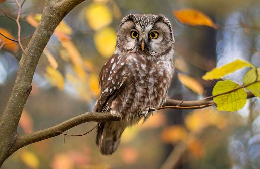 Boreal owl in autumn leaves 481526876
