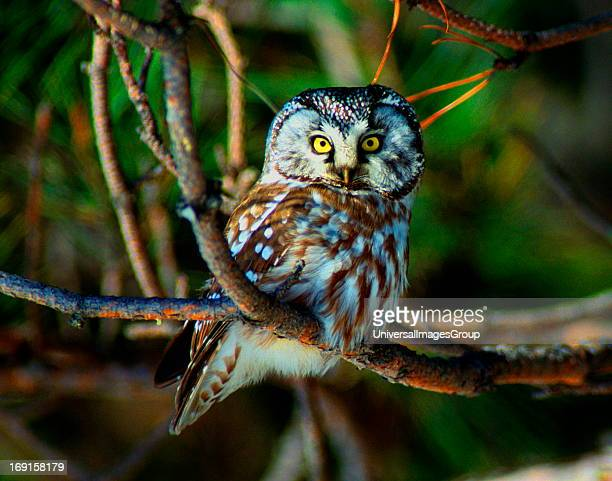 Boreal Owl of the Boreal forests