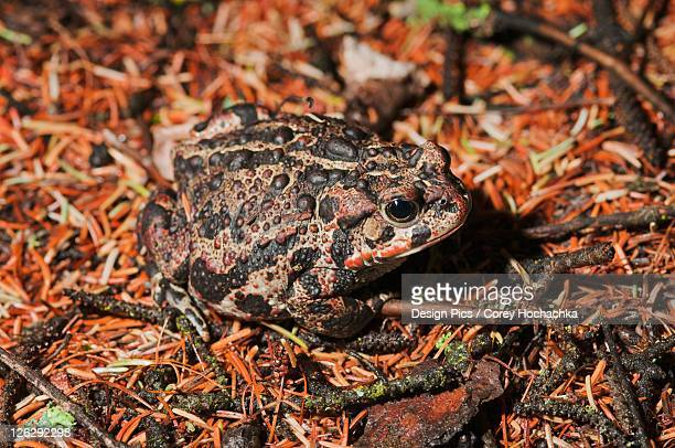 Boreal toad stock photos and pictures getty images boreal toad anaxyrus boreas boreas sciox Choice Image