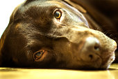 Bored Chocolate Labrador