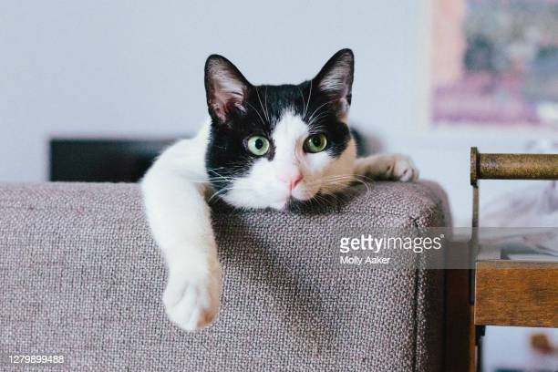 bored cute black and white cat lounging - image stock pictures, royalty-free photos & images