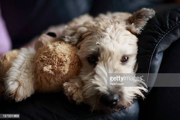 bored - soft coated wheaten terrier stock photos and pictures