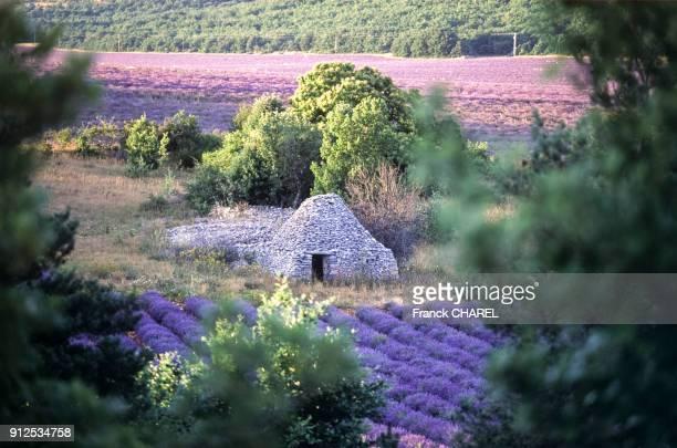 Borie au milieu d'une plantation de lavande dans le massif du Luberon dans le Vaucluse France