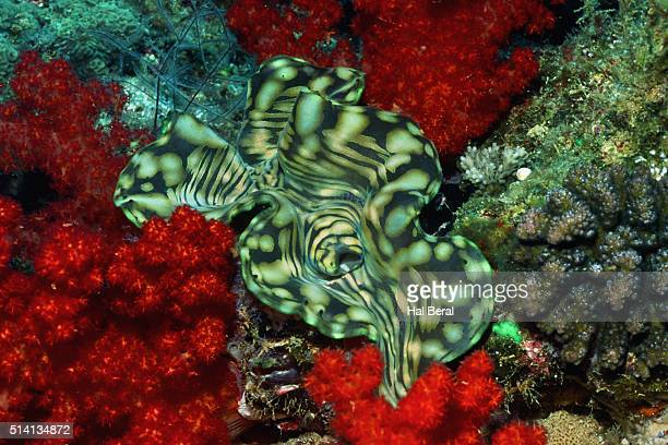 Boring Giant Clam