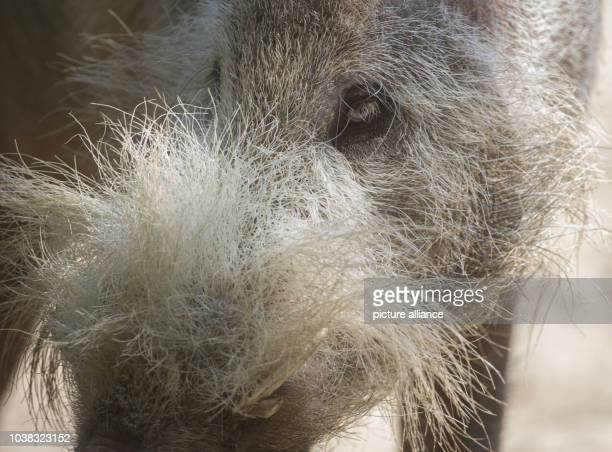 A Bornean bearded pig looks at visitors in its enclosure at the zoo in BerlinGermany 25 July 2016 PhotoPAULZINKEN/dpa | usage worldwide
