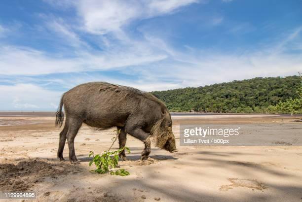 Bornean Bearded Pig Sus Barbatus On Beach