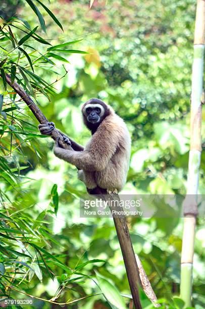 Bornean Gibbon Hylobates muelleri sitting on a branch in Sabah Borneo, Malaysia.