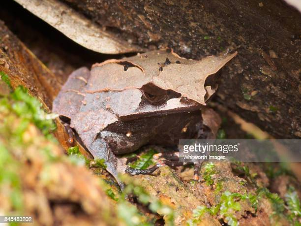 bornean horned frog (megophrys nasuta) in jungle of malaysian borneo - horned frog stock photos and pictures
