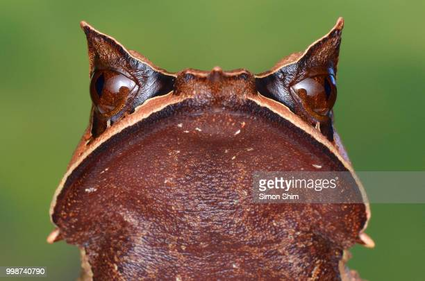 bornean horned frog - horned frog stock photos and pictures