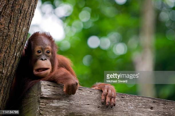 bornean  in jungle - michael siward stock pictures, royalty-free photos & images