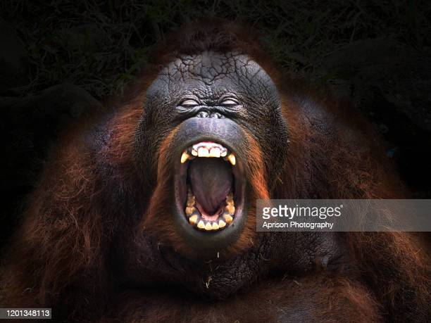bornean orang utan opening the mouth - mouth open stock pictures, royalty-free photos & images