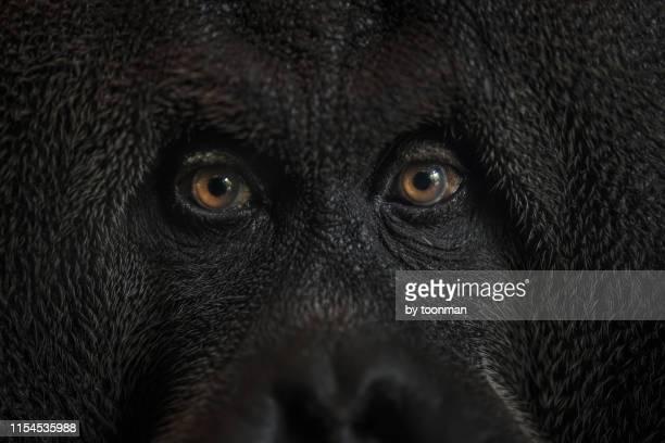 bornean orang utan - orang outan photos et images de collection