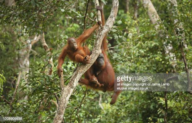 bornean orangutan family hangs from tree - island of borneo stock pictures, royalty-free photos & images