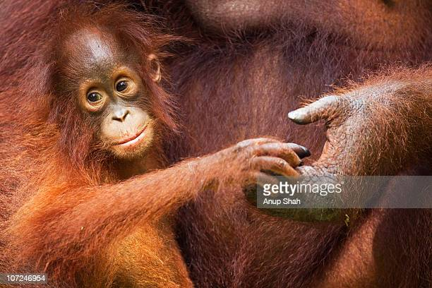 bornean orangutan female baby  - island of borneo stock pictures, royalty-free photos & images
