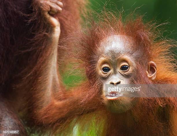 Bornean Orangutan female baby