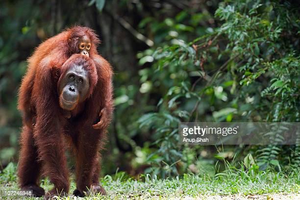 Bornean Orangutan female carrying her daughter