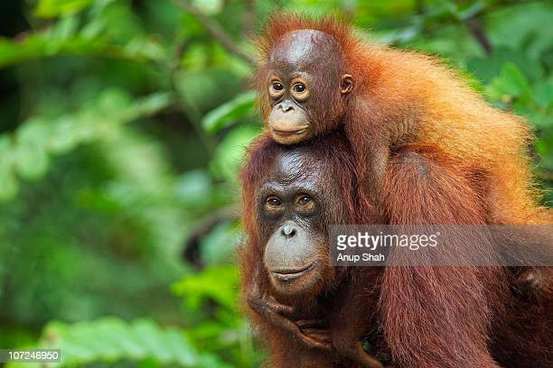 bornean orangutan femalecarrying her son - young animal stock pictures, royalty-free photos & images