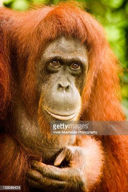 Bornean orangutan in Singapore Zoo