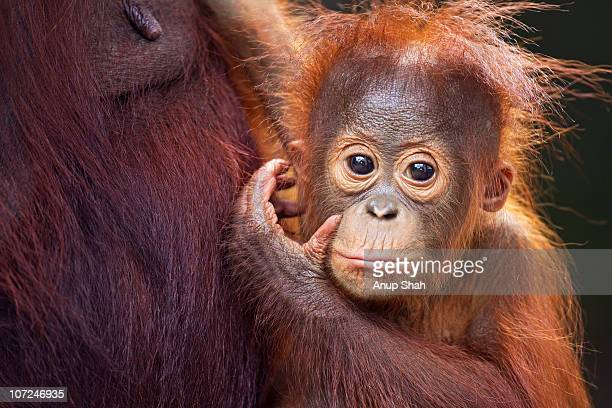 Bornean Orangutan male baby portrait