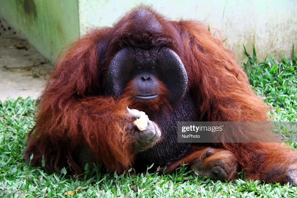 Bornean Orangutan Collected At Medan Zoo : News Photo