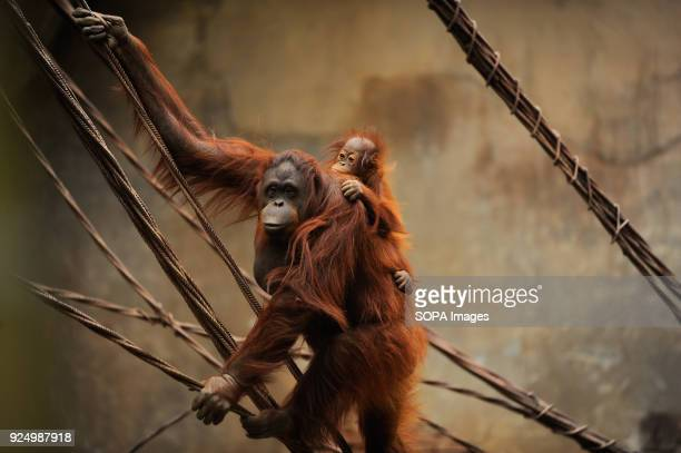 Bornean orangutan named Suli and her female baby Kali seen hanging on a rope inside their enclosure at Fuengirola Bioparc