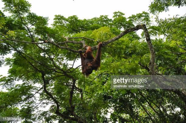 bornean orangutan - island of borneo stock pictures, royalty-free photos & images