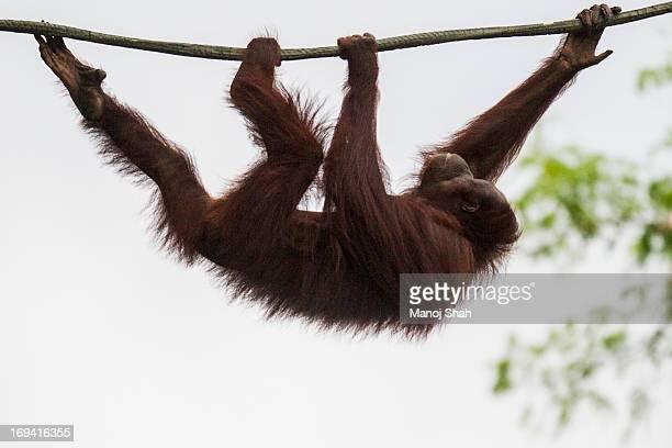bornean orangutan - orangutan stock pictures, royalty-free photos & images
