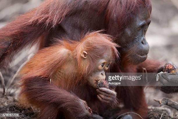 Bornean orangutan Pongo pygmaeus female and young feeding Camp Leakey Tanjung Putung National Park Kalimantan Borneo Indonesia