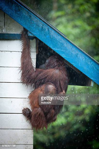 Bornean orangutan Pongo pygmaeus female with young sheltering from the rain beneath overhanging roof Camp Leakey Tanjung Putung National Park...