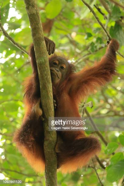 bornean orangutan, pongo pygmaeus, resting on a branch during the midday heat - sabah state stock pictures, royalty-free photos & images
