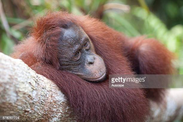 Bornean orangutan Pongo pygmaeus resting stretched out along tree branch Camp Leakey Tanjung Putung National Park Kalimantan Borneo Indonesia