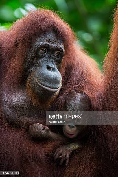 Bornean Orangutan with baby