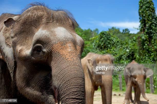 Bornean Pygmy Elephant family, Sabah, Borneo, Malaysia