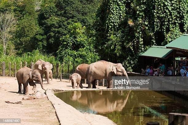 Bornean Pygmy Elephants (Elephas maximus borneensis) and visitors at Lok Kawi Wildlife Park.