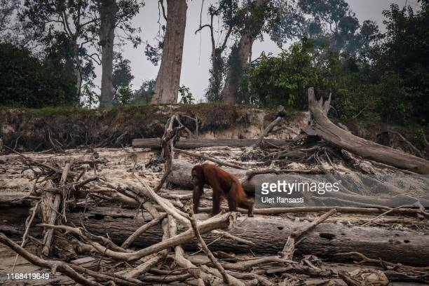 A borneo orangutan is seen at Salat island as haze from the forest fires blanket the area at Marang on September 15 2019 in the outskirts of...