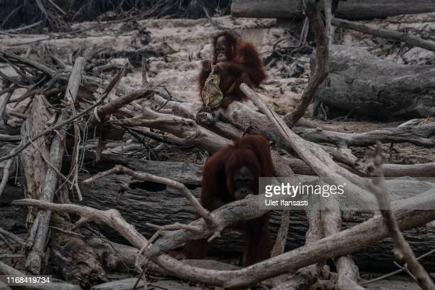 Borneo orangutans are seen in Salat island as haze from the forest fires blanket the area at Marang on September 15, 2019 in the outskirts of...
