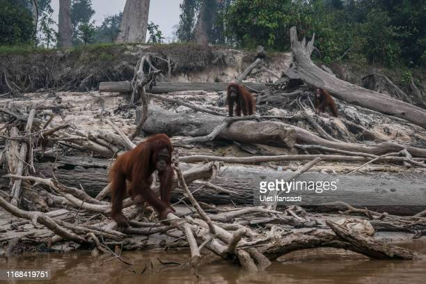 Borneo orangutans are seen in Salat island as haze from the forest fires blanket the area at Marang on September 15 2019 in the outskirts of...