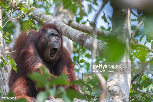 'A Borneo orangutan, Pongo pygmaeus, calling from the tree tops.'